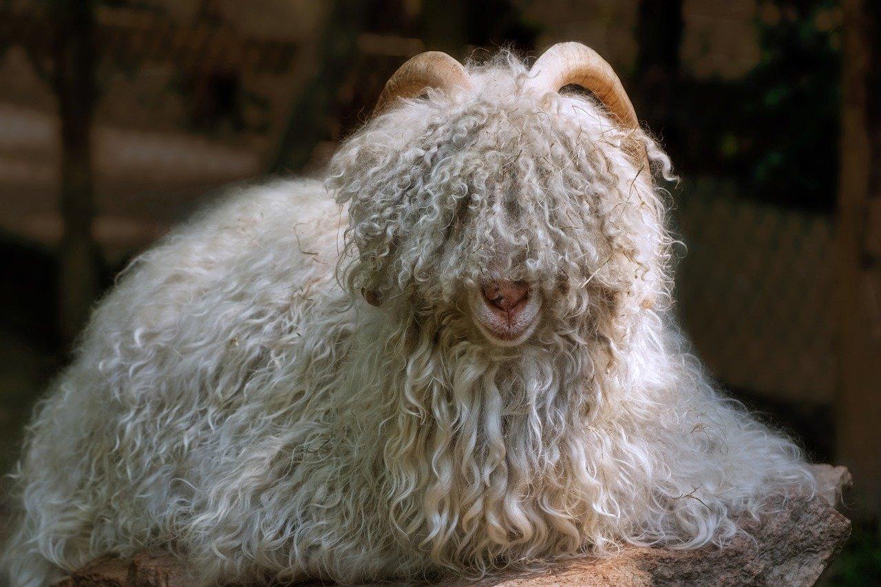 chèvre pull cachemire
